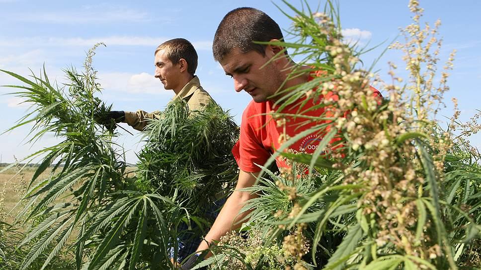 История россия конопля если что конопли будет съесть листья
