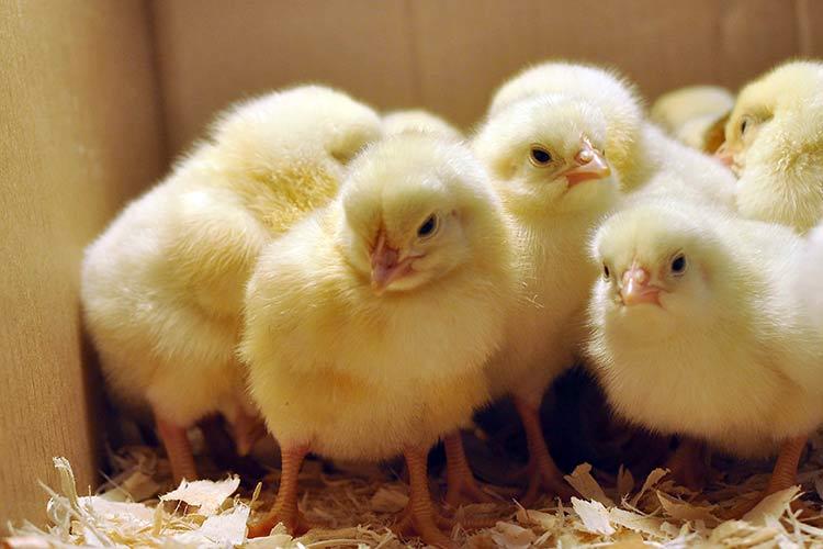 Как накормить цыплят за Bitcoin Cash